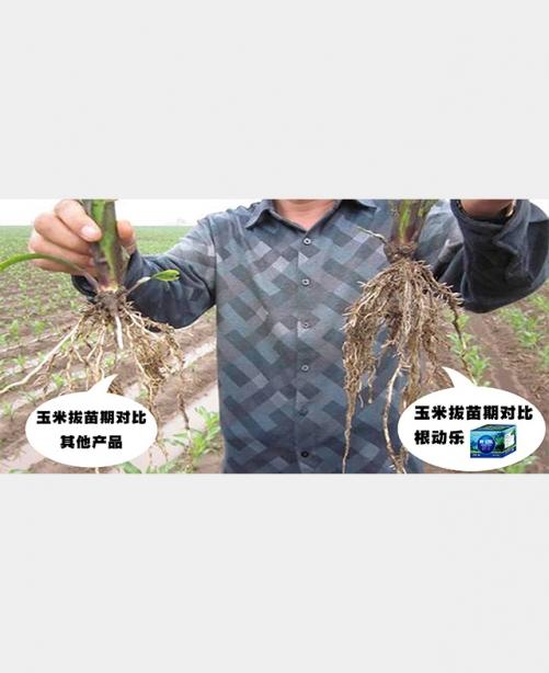玉米拔苗期
