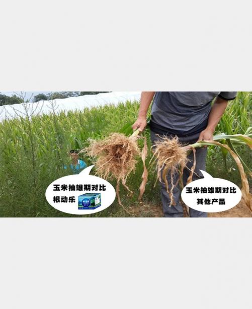 玉米抽雄期
