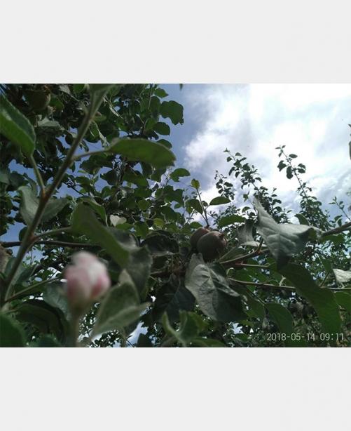 苹果试验基地